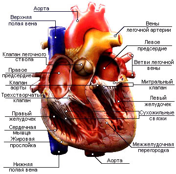 Типичные (рабочие) и атипичные кардиомиоциты.